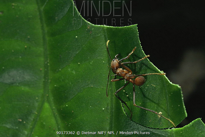 Leaf cutter ant (Atta bichaerica) cutting leaf, Panama, Central America  -  Dietmar Nill/ npl