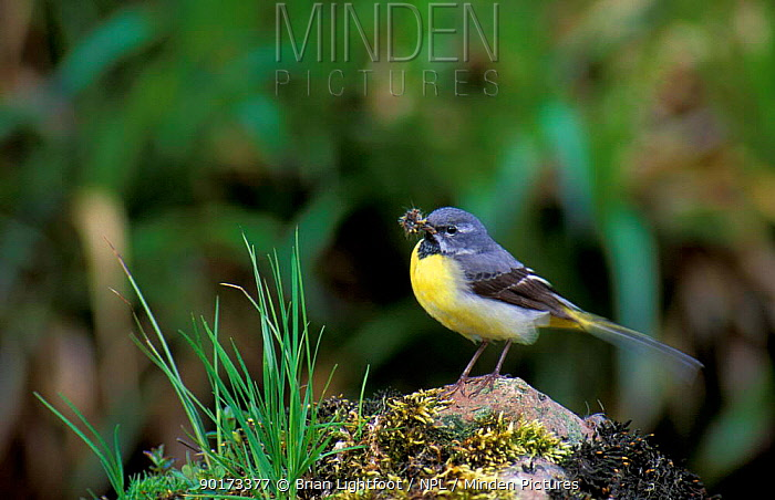 Grey wagtail carrying food to young, Scotland  -  Brian Lightfoot/ npl