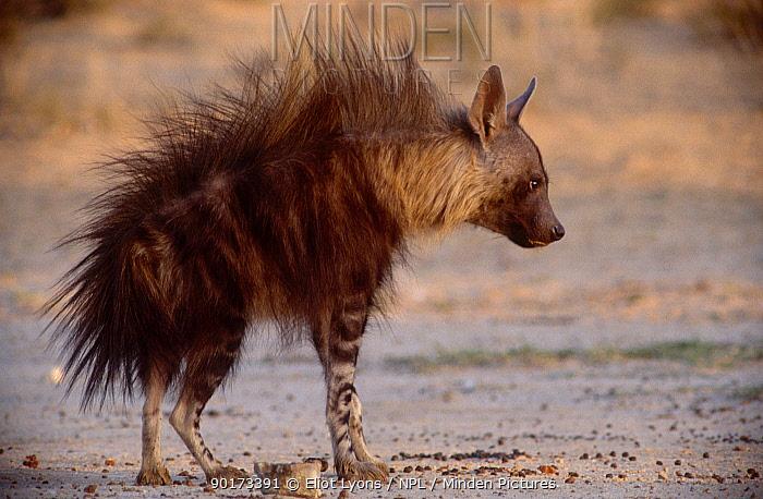 Brown hyaena aggressive display (Hyaena brunnea) Kalahari NP South Africa  -  Eliot Lyons/ npl