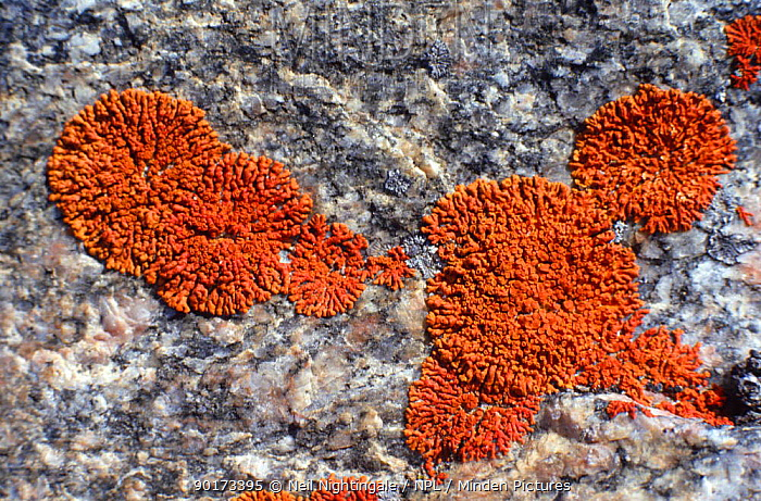 Close-up of lichens on rock Ellesmere, Canad  -  Neil Nightingale/ npl