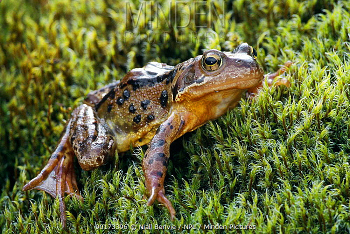 Common Frog on moss Scotland (Rana temporaria)  -  Niall Benvie/ npl