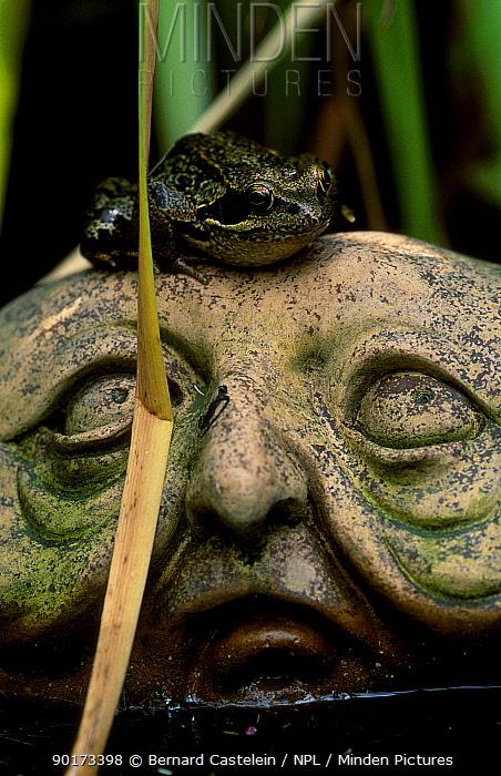 Common frog on garden ornament (Rana temporaria) Belgium  -  Bernard Castelein/ npl