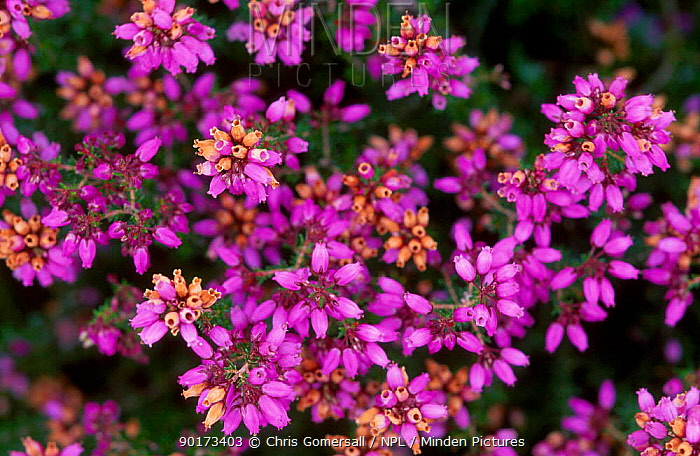 Dorset heath in flower (Erica ciliaris) UK  -  Chris Gomersall/ npl