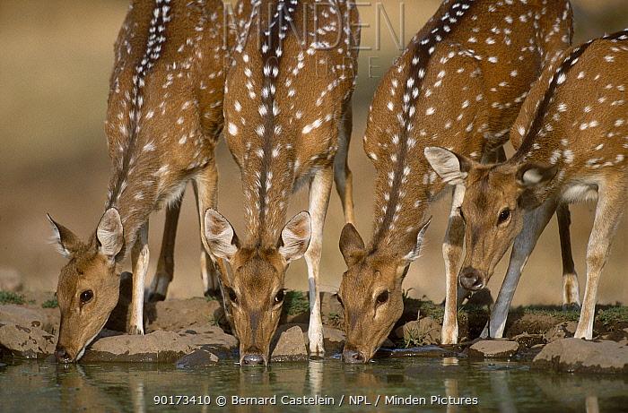 Chital, Spotted deer drinking (Axis axis) Sariska NP Rajasthan India  -  Bernard Castelein/ npl