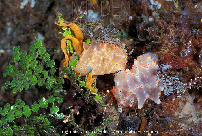 Nudibranchs mating and laying eggs simultaneously (Halgerda sp) Sulawesi, Indonesia  -  Constantinos Petrinos/ npl