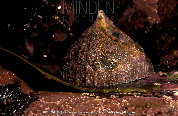 Limpet (Patella argenvillei) traps kelp at low tide to feed on West coast, South Africa  -  Claudio Velasquez/ npl