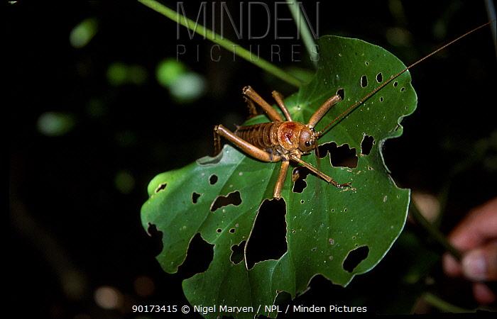 Poor knights weta (Deinacrida fallai) New Zealand  -  Nigel Marven/ npl