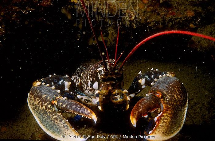 European lobster (Homarus gammarus) Jersey Channel Is UK  -  Sue Daly/ npl