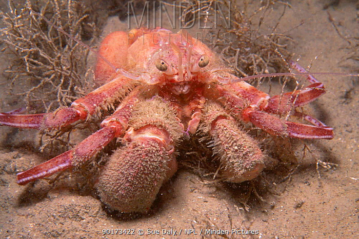 Hermit crab (Pagurus prideauxi) Jersey Channel Isles UK Bouley bay  -  Sue Daly/ npl