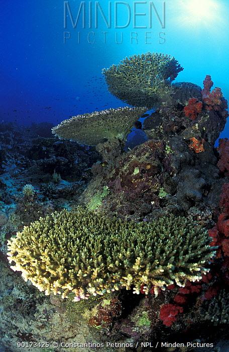 Table top coral marine landscape (Acropora coral) Fiji, Pacific  -  Constantinos Petrinos/ npl