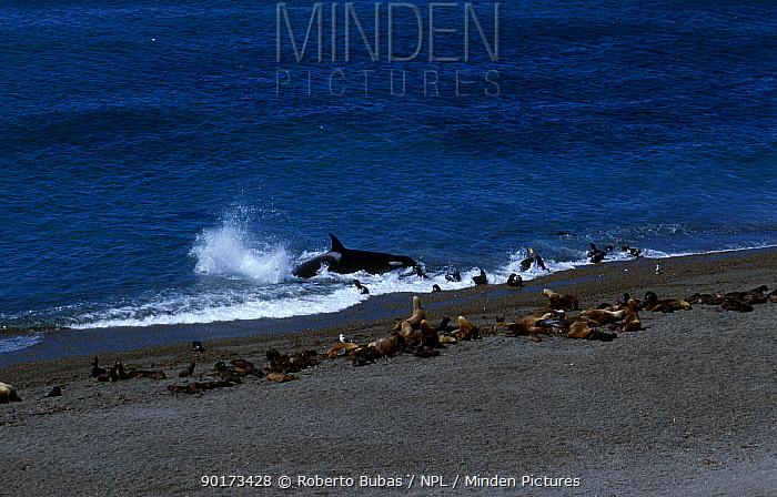 Killer whales (Orcinus orca) hunting sealions (Otaria flavescens) Valdez Argentina  -  Roberto Bubas/ npl