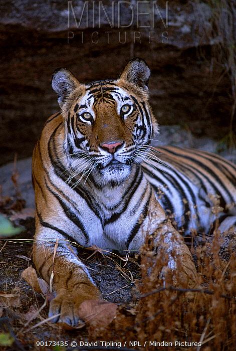 Mohani 3-yr-old female tiger (daughter of Sita) (Panthera tigris) Bandhavgarh NP India  -  David Tipling/ npl