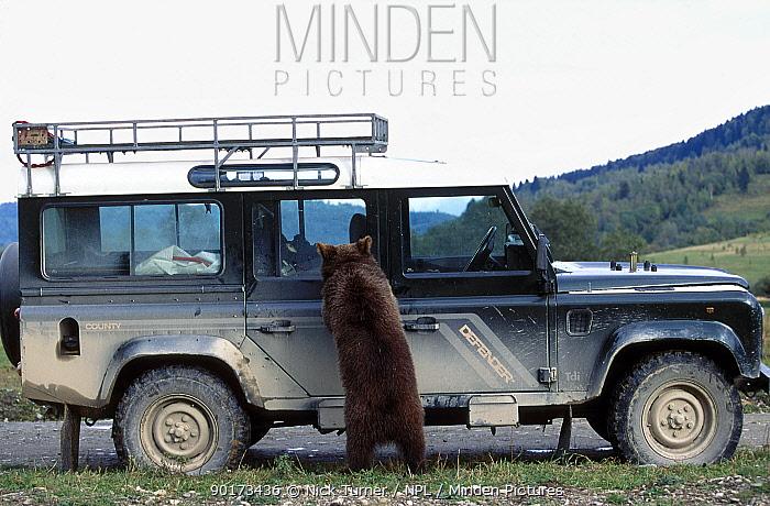 European Brown bear investigates jeep (Ursus arctos) Transylvania Romania  -  Nick Turner/ npl