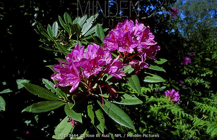 Wild rhododron in flower (Rhododron ponticum) Spain  -  Jose B. Ruiz/ npl