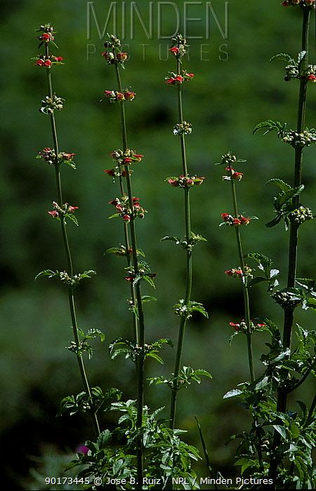 Figwort (Scrophularia sambucifolia) Spain  -  Jose B. Ruiz/ npl