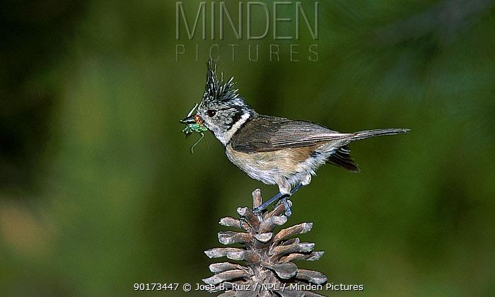 Crested tit on fir cone (Parus cristatus) Spain  -  Jose B. Ruiz/ npl