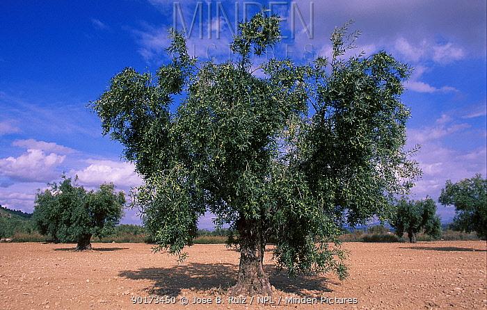 Olive tree (Olea europaea) Spain  -  Jose B. Ruiz/ npl