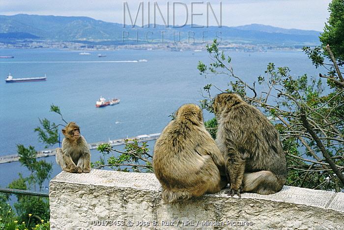 Barbary apes (Macaca sylvanus) with Straits of Gibraltar behind Gibraltar, Spain  -  Jose B. Ruiz/ npl