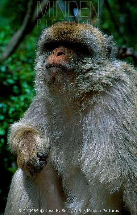 Barbary ape portrait (Macaca sylvanus) Gibraltar, Spain  -  Jose B. Ruiz/ npl