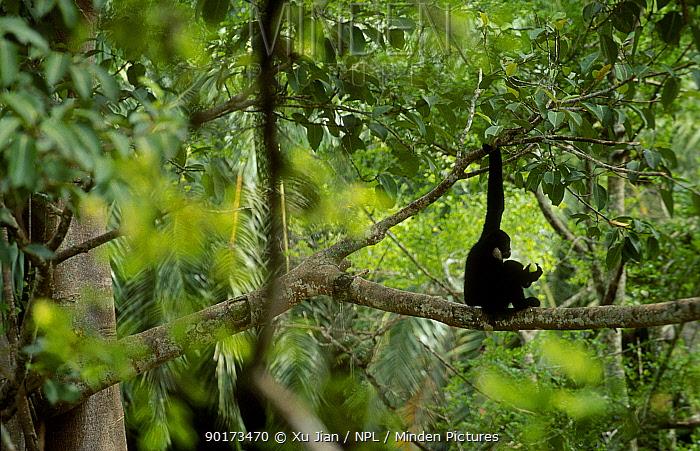 White cheeked gibbon feeding in tree (Hylobates concolor leucogenys) Yunnan China  -  Xu Jiang/ npl