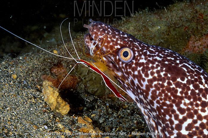 Spotted moray eel with cleaner shrimp (Gymnothorax moringua) Bonaire Caribbean  -  Constantinos Petrinos/ npl