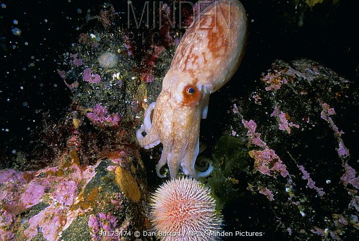Common octopus (Octopus vulgaris) among rocks Scotland, UK  -  Dan Burton/ npl