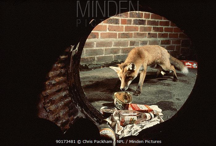 Red fox scavenging at dustbin England  -  Chris Packham/ npl