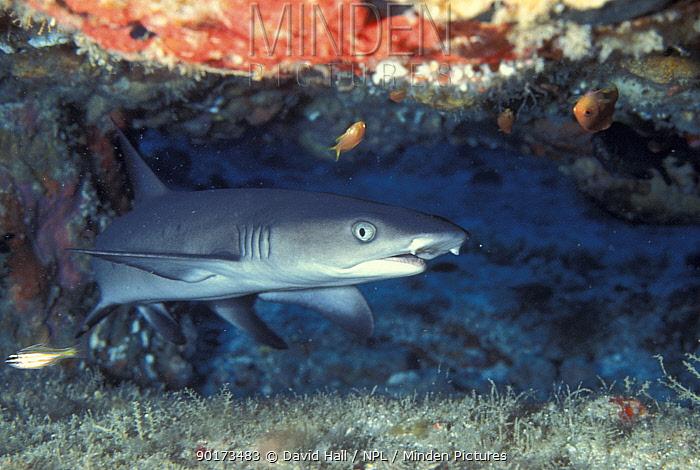 Whitetip reef shark at reef (Triaenodon obesus) Philippines  -  David Hall/ npl
