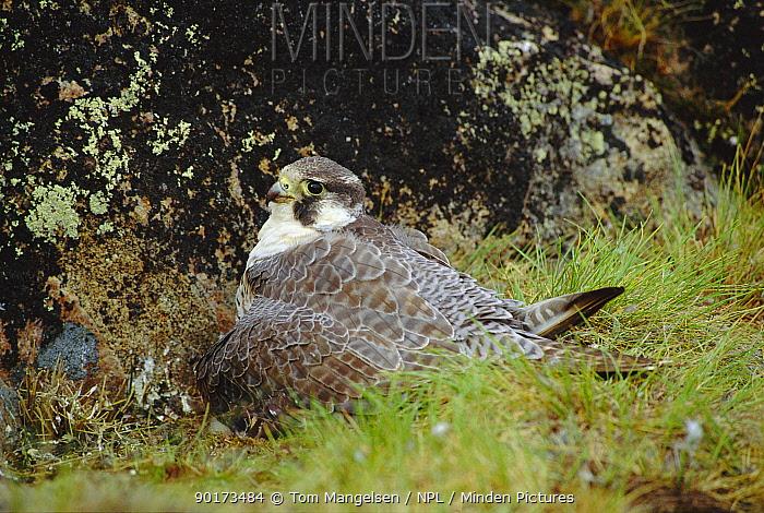 Peregrine Falcon on nest (Falco peregrinus) Canada  -  Tom Mangelsen/ npl
