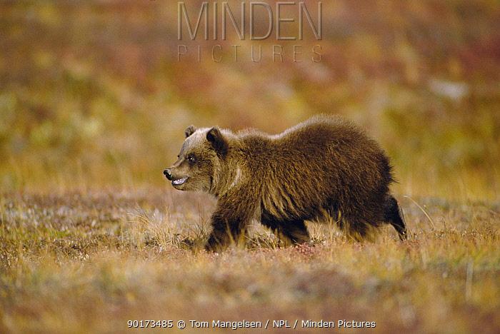 Grizzly bear, Denali NP, Alaska  -  Tom Mangelsen/ npl