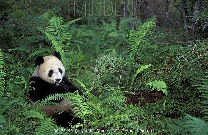 Giant panda feeding on bamboo Wolong Nature Reserve, China Captive  -  Lynn M. Stone/ npl