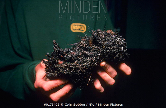 Hedgehog (Erinaceus europaeus) covered in bitumen RSPCA Hospital, Taunton, Somerset, England, UK, Europe  -  Colin Seddon/ npl
