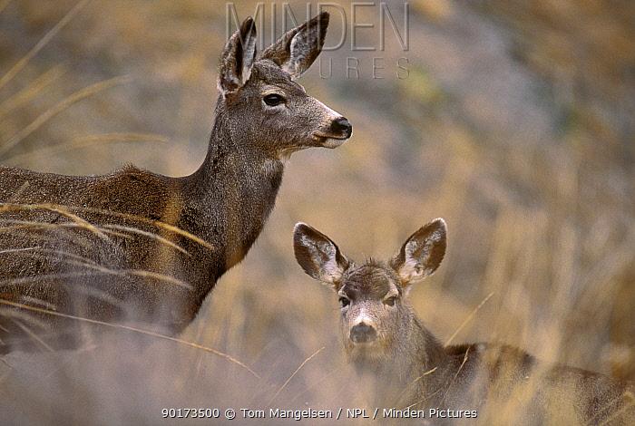 Mule Deer with young (Odocoileus hemionus) Montana, USA  -  Tom Mangelsen/ npl
