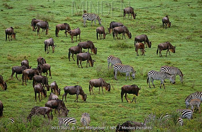 Wildebeest (Connochaetes taurinus) and Common zebra grazing in grassland, Ngorongoro Crater NP, Tanzania  -  Tom Mangelsen/ npl