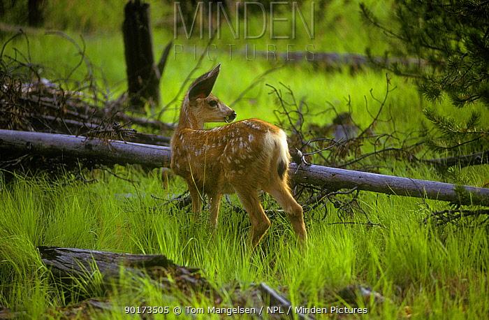 Mule Deer fawn (Odocileus hemionus) Montana, USA  -  Tom Mangelsen/ npl