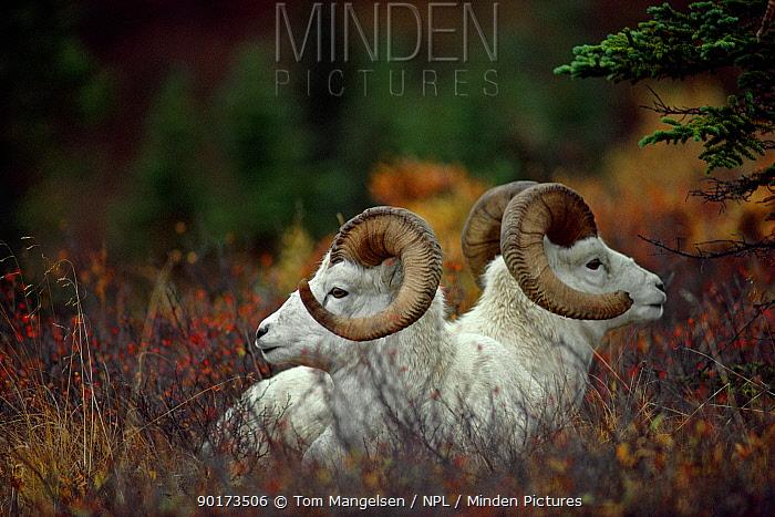 Portrait of two Dall Sheep (Ovis dalli) Denali NP, Alaska, USA  -  Tom Mangelsen/ npl
