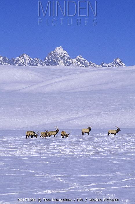 American Elk herd in snow (Cervus elaphus) National Elk Refuge, Jackson, Wyoming, USA  -  Tom Mangelsen/ npl