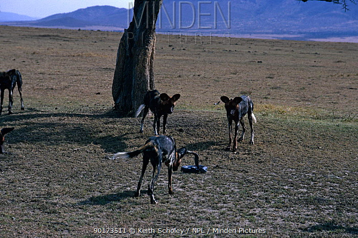 African wild dogs (Lycaon pictus) harassing Cobra, Masai Mara GR, Kenya  -  Keith Scholey/ npl
