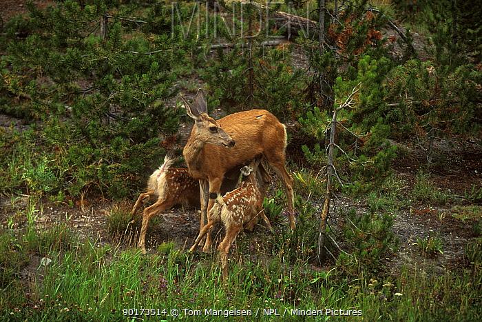 Mule Deer suckling young (Odocoileus hemionus) Wyoming Yellowstone NP USA  -  Tom Mangelsen/ npl