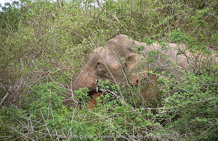 Indian elephant (Elephas maximus) feeding in scrub, Yala NP, Sri Lanka  -  Paul Johnson/ npl