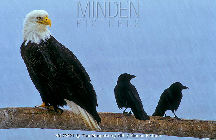 Bald Eagle (Haliaeetus leucocephalus) with two crows Alaska, USA  -  Tom Mangelsen/ npl