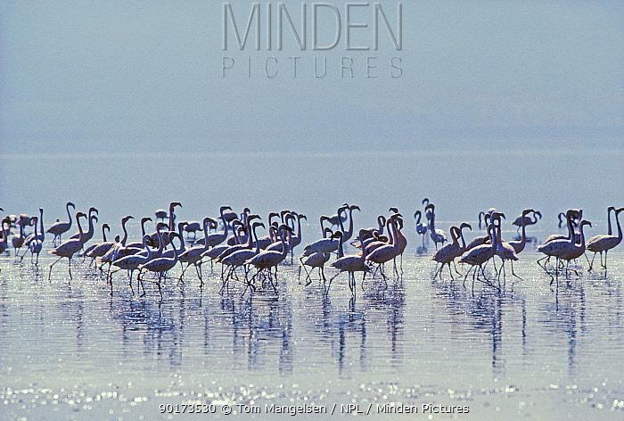 Lesser Flamingos wading (Phoeniconaias minor) Tanzania Ngorongoro  -  Tom Mangelsen/ npl