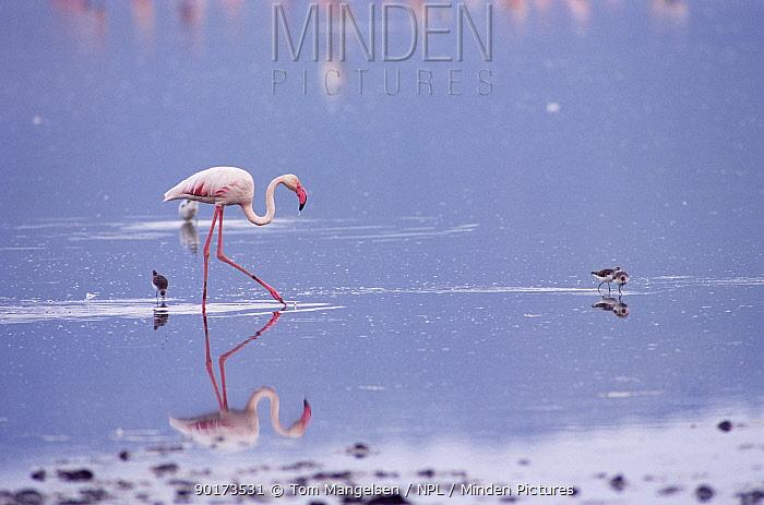 Lesser Flamingo wading (Phoeniconaias minor) Tanzania Ngorongoro, Africa  -  Tom Mangelsen/ npl