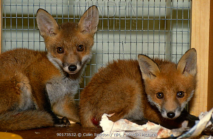Orphaned Red fox cubs at RSPCA centre (Vulpes vulpes) Taunton, UK  -  Colin Seddon/ npl