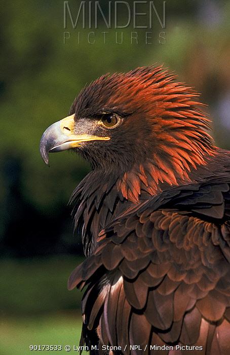 Golden eagle head portrait  -  Lynn M. Stone/ npl
