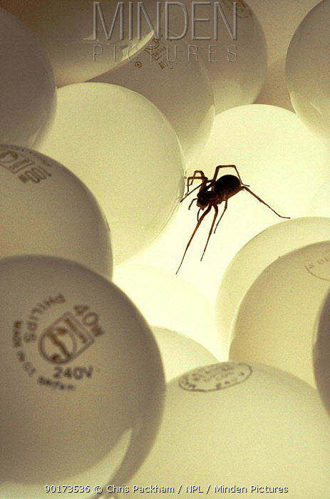 House spider crawling over light bulbs, UK  -  Chris Packham/ npl