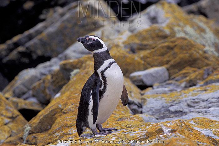 Magellanic penguin Falkland Is (Spheniscus magellani)  -  Lynn M. Stone/ npl