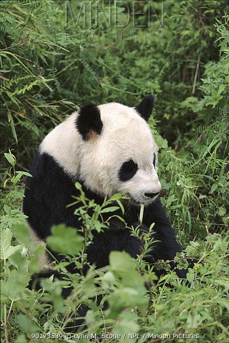 Giant Panda, Wolong Nature Reserve, Sichuan, China Captive  -  Lynn M. Stone/ npl