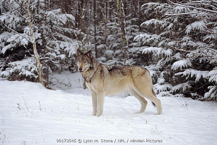 Portrait, Grey wolf standing in snow  -  Lynn M. Stone/ npl