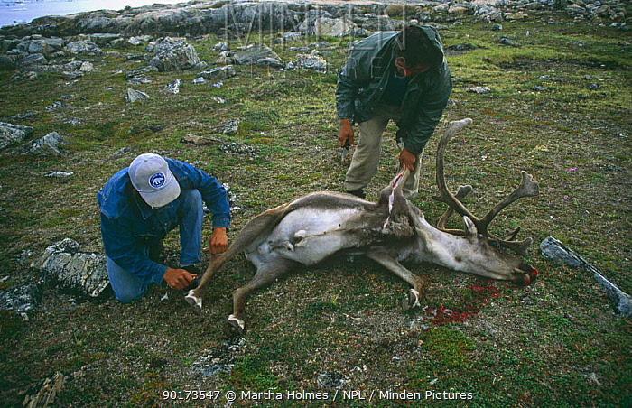 Inuits skinning Caribou (Rangifer tarandus) Wager Bay, NW Territories, Canada, sequence  -  Martha Holmes/ npl